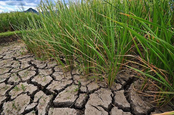 Climate change - ready rice   International Rice Research Institute