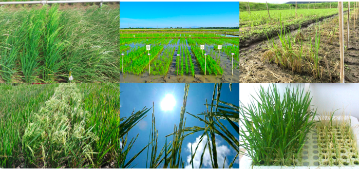 Climate Smart Rice International Rice Research Institute